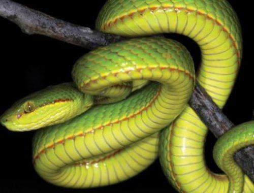Los científicos descubren una nueva serpiente y la nombran Salazar Slytherin